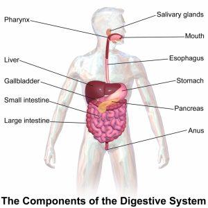 Digestive System Diseases Gastrointestinal Disease